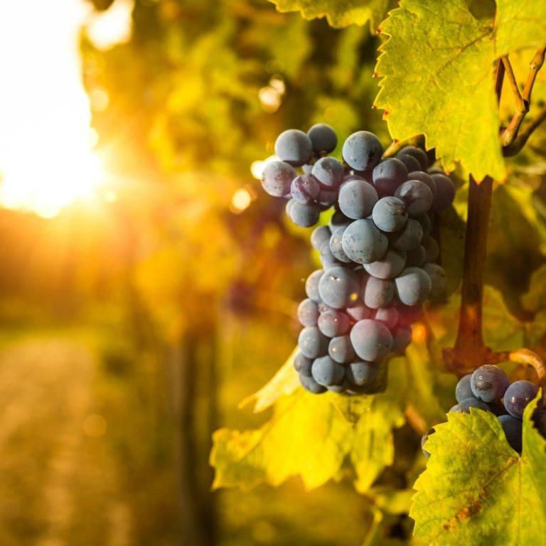 Tradice Svatomartinského vína